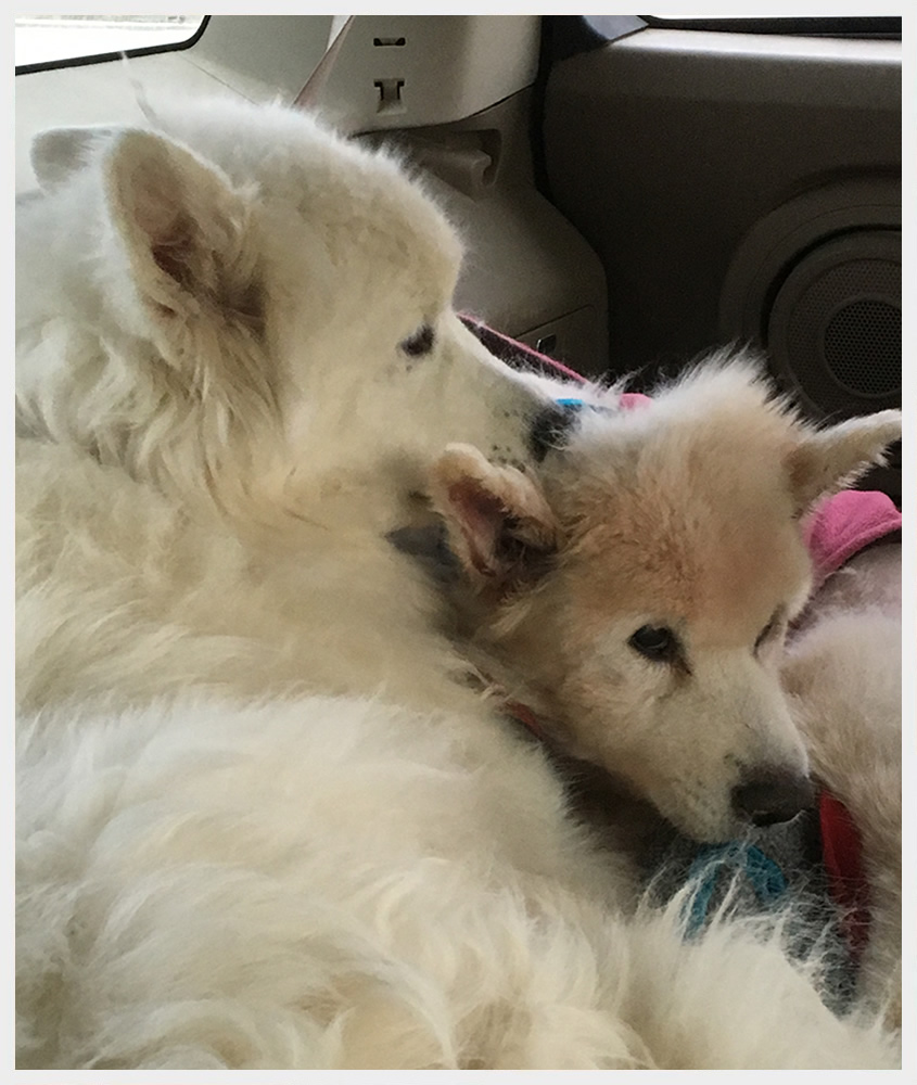 St  Louis Samoyed Rescue